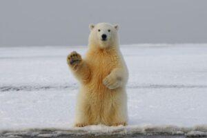 Soyez aussi élégant qu'un ours polaire